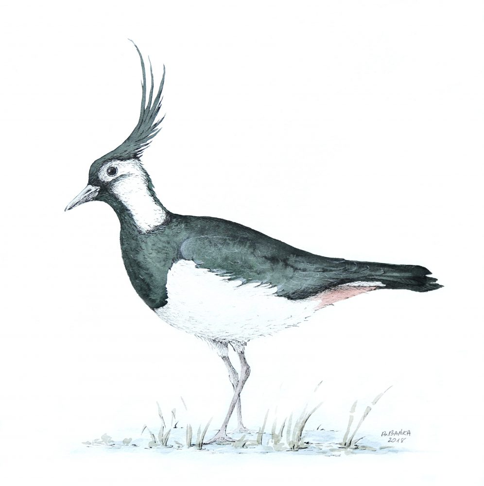 Northen lapwing, 2018 - Barbara Bańka