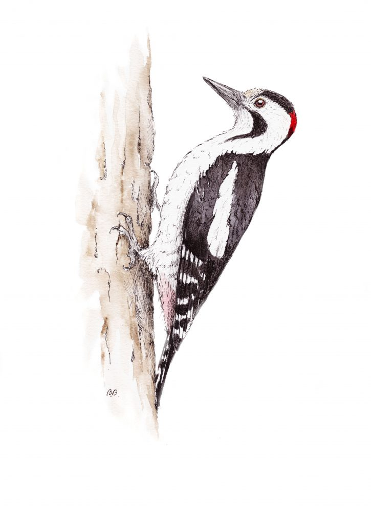 Syrian woodpecker, 2019 - Barbara Bańka