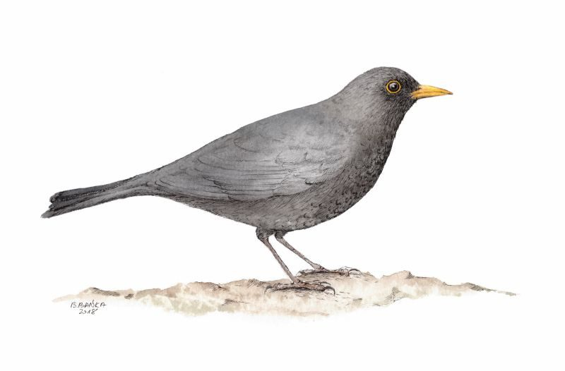 Common blackbird, 2018 - Barbara Bańka