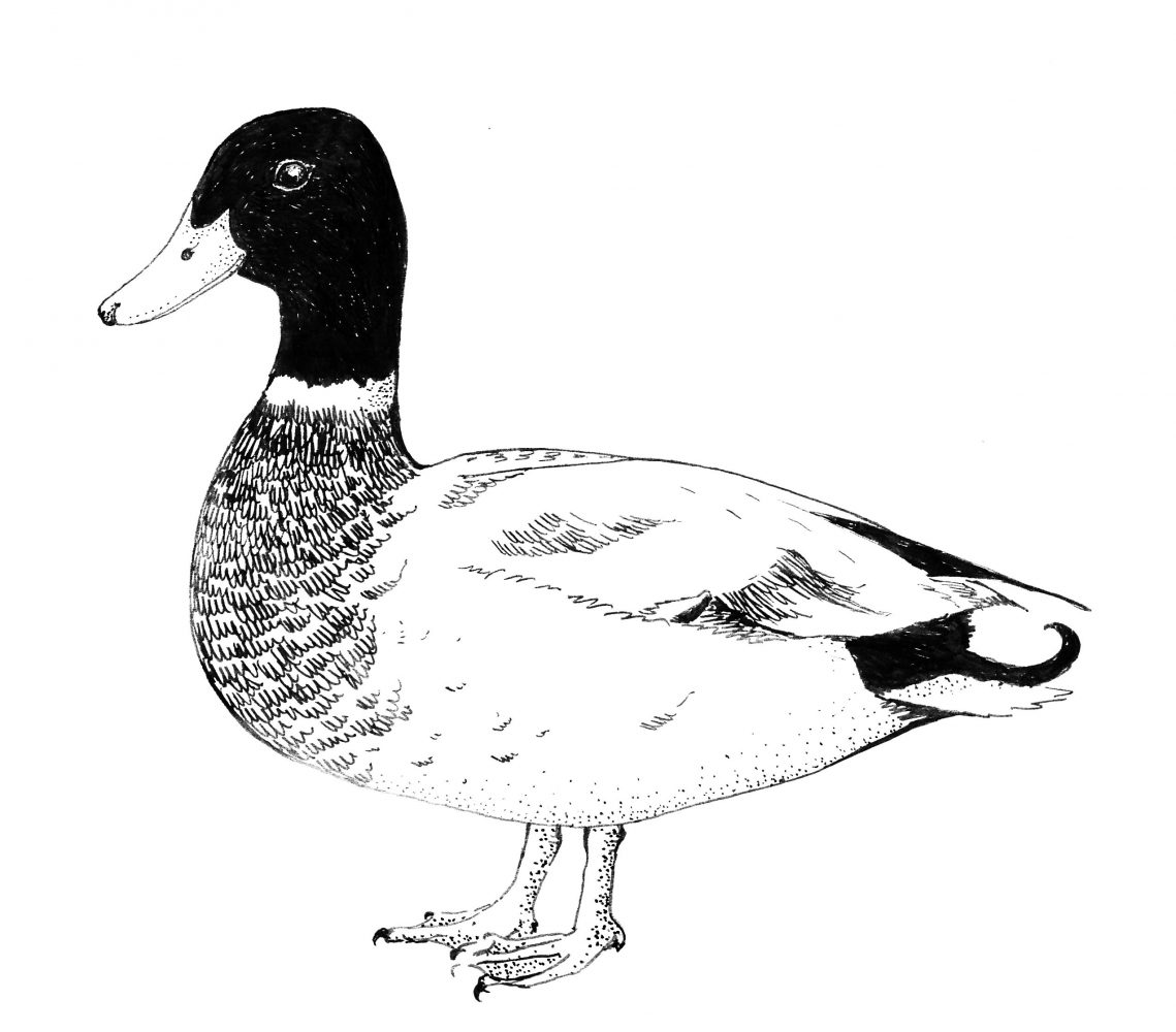 Mr mallard - Barbara Bańka